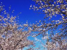 今年もきれいに桜が咲きました